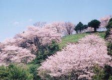 金立公园——徐福与樱花
