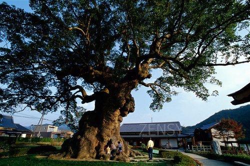 川古大楠树——千年古木