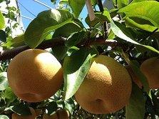 秋季推荐——美味生梨自己采