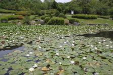 立公园睡莲 (2)
