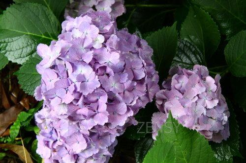 金立公园紫阳花.JPG