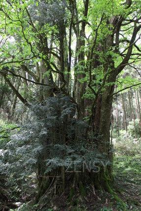 连香树——全国第二巨木