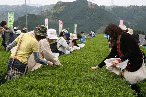 唐津茶采摘体验旅行