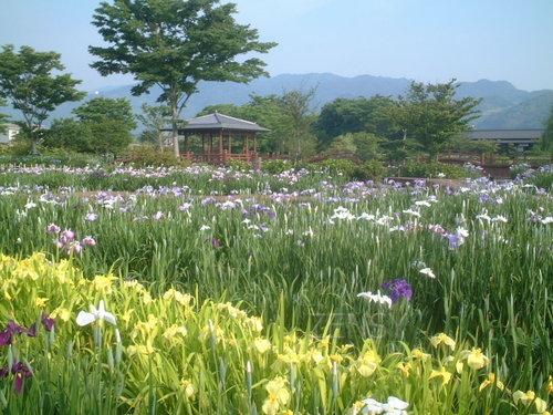 大和花菖蒲开园