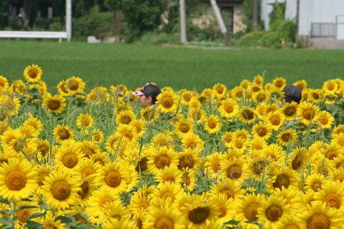 葫芦岛公园的向日葵季