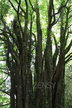 日本第二巨木——下合濑的大桂树