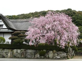 柿右卫门窑的八重红枝垂桜